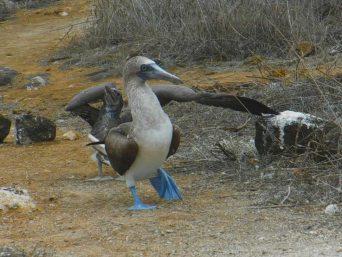 Piquero en galapagos